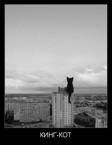 кинг-кот