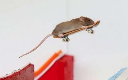 мыша делает трюк